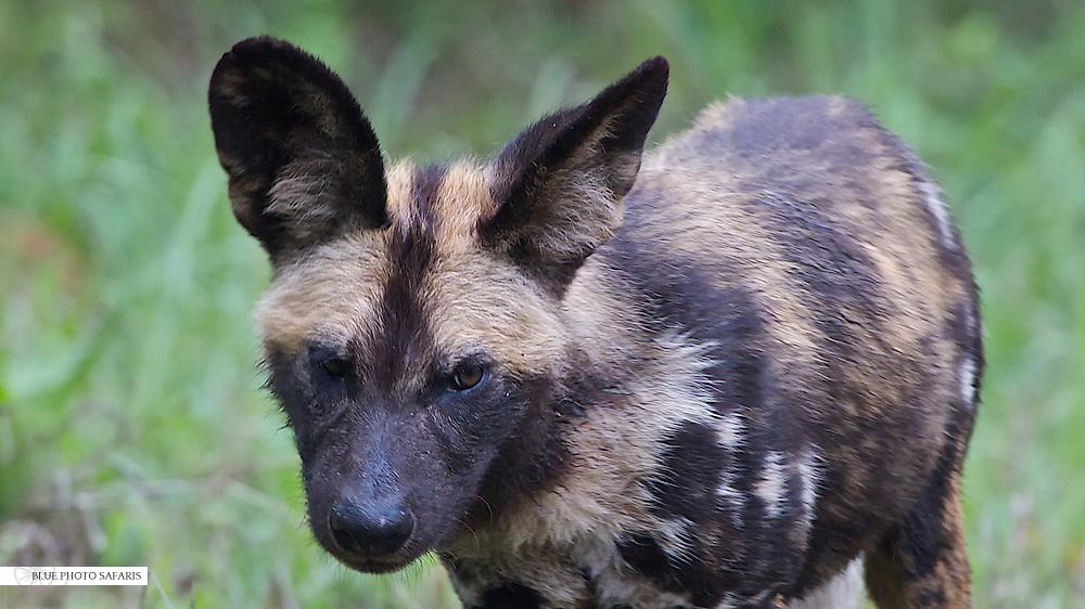 Curious African wild dog