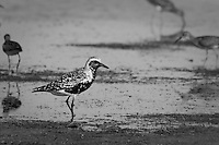 This guy was very curious and checked me out thoroughly.  I've never seen one like this before, but I'm reliably told that it's a Black-bellied Plover.
