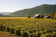 Henry Estate Winery vineyards, Umpqua Valley, Oregon.