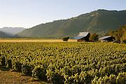 Henry Estate Winery vineyards, Umpqua Valley, Oregon.