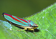 Green-and-Scarlet Leafhopper