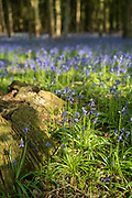 Dappled sunlight in bluebell wood and tree stump in late Spring / early Summer in Wiltshire, England, UK
