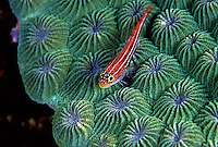 Neon Triplefin on Star Coral.2nd Place ANZANG Wildlife Photographer of the Year 2005 (Underwater Category)