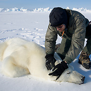 Geoff York, USGS biologist, prepares a polar bear (Ursus maritimus) darted from the air for data collection. Kaktovik, Alaska