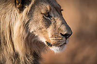 Male lion , Pilanesberg National Park, North West, South Africa