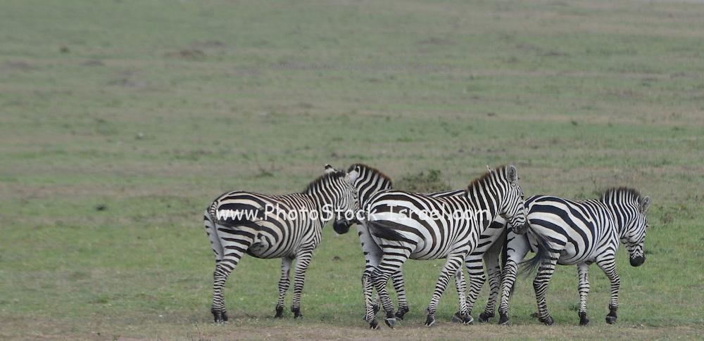 Kenya, Masai Mara a herd of common zebra (equus granti)