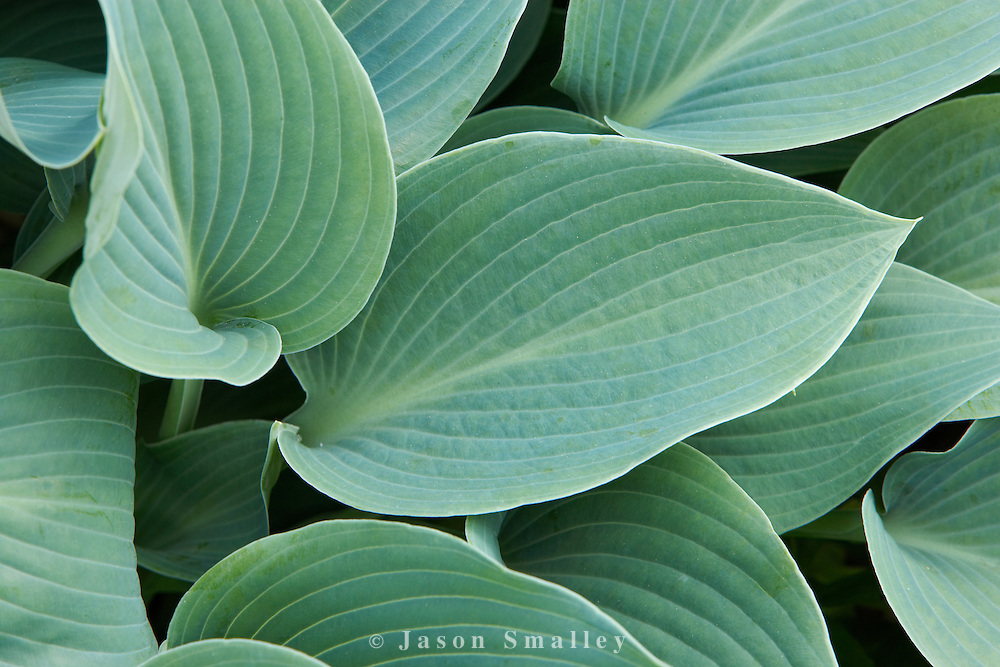 Holehird garden, Windermere Hosta Tardiana Group Hadspen Blue