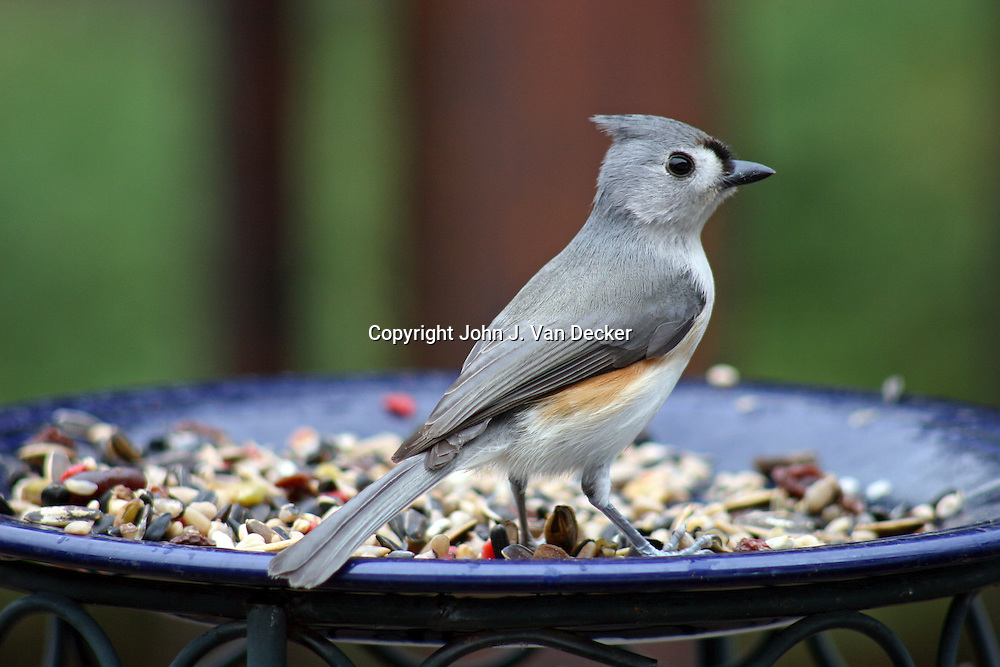 Tufted Titmouse, Baeolophus bicolor, at feeding plate