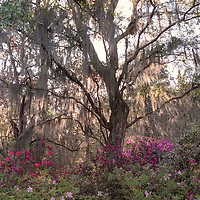 Backlit tree with Spanish moss and azaleas, Magnolia Plantation, near Charleston, South Carolina