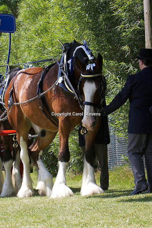 Great Yorkshire Show 2011  Heavy Horse Team Turnouts<br />