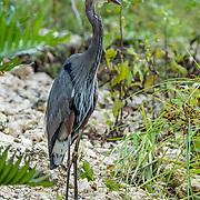 Great Blue Heron. Mayakoba, Riviera Maya. Mexico.