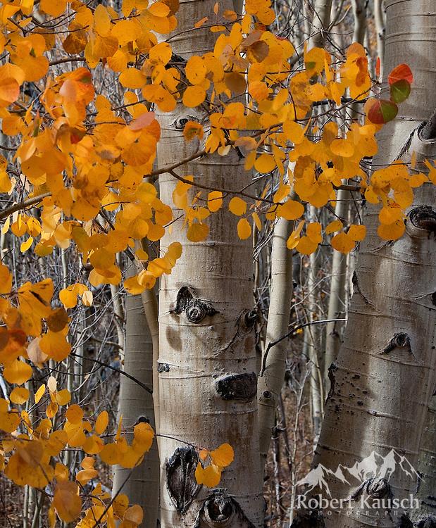 Aspen trunks and leaves