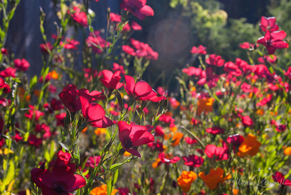 Brilliant red scarlet flax flowers and native orange California poppy flowers fill a sunny summer meadow