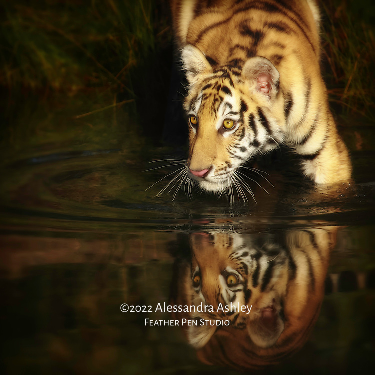 Tiger cub reflected while wading in pond.  Photographed in controlled situation within naturalistic habitat.
