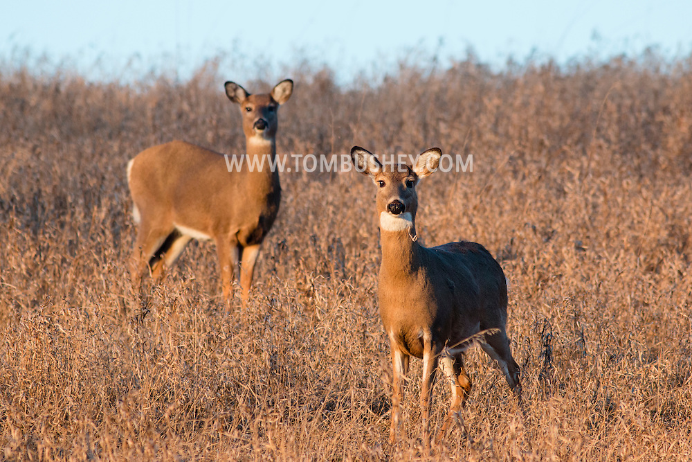 Sugar Loaf, New York - Two white-tailed deer stand in a field on Jan. 15, 2015. ©Tom Bushey / The Image Works