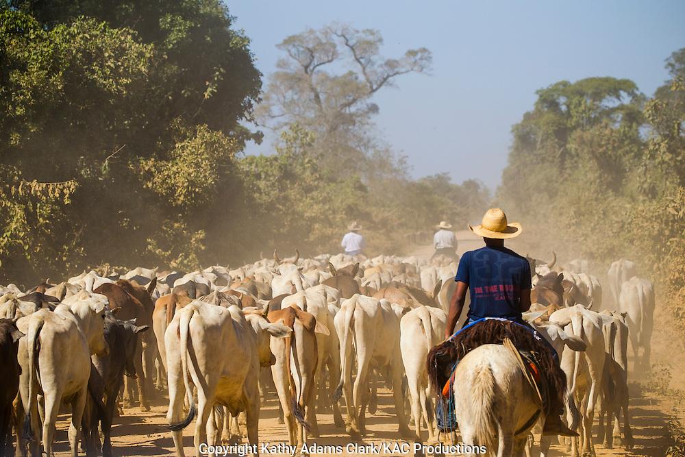 cattle drive, cowboys, pantanal, brazil, ranching