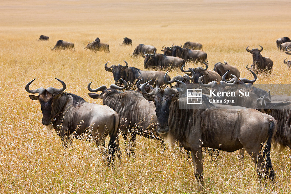 Wildebeest migration on the savannah, Masai Mara, Kenya
