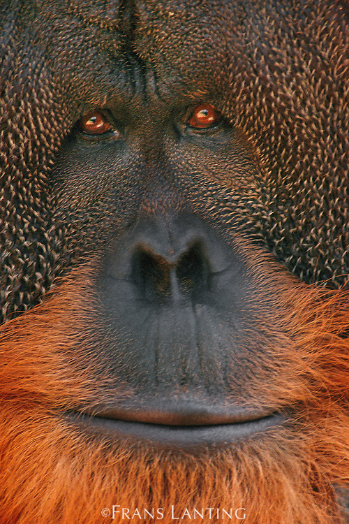 Bornean orangutan, Pongo pygmaeus, Sabah, Borneo