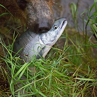 USA, Alaska, Katmai. Alaskan Brown Bear snout carrying freshly caught salmon at Brooks Falls.