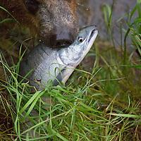 USA, Alaska, Katmai. Alaskan Brown Bear snout carrying freshly caught salmon at Brooks Falls.