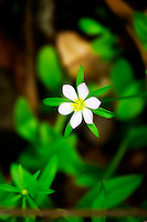 A sabatia flower in bloom in one of the deepest and darkest parts of the Fakahatchee Strand in SW Florida.