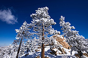 Snow flurries and rime ice on pines in the San Bernardino Mountains, San Bernardino National Forest, California USA