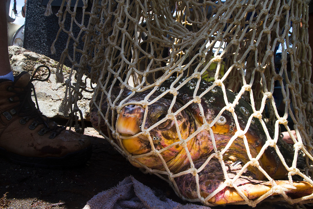 Scientific estimates indicate that only one in 1000 hatchlings will survive to become a reproductive adult sea turtle. Loss of nesting beaches due to coastal overdevelopment hinder turtles from laying eggs. Light pollution which causes hatchlings to go AWAY from the water and predators ranging from raccoons, birds and even domesticated animals have the odds stacked against them before they ever reach the water.