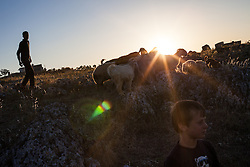 Syria.<br /> A Shepherd and his young friends guiding a livestock trough fields in the south-east countryside of Idlib at sunset, Syria,<br /> 15th June 2013<br /> Picture by Daniel Leal-Olivas / i-Images
