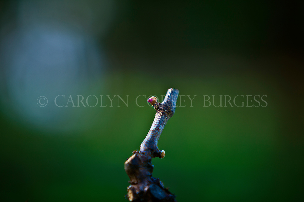 early bud break in a howell mountain vineyard in napa valley, california