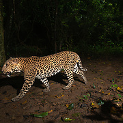 The Indochinese leopard (Panthera pardus delacouri) is a leopard subspecies native to mainland Southeast Asia and southern China. In Indochina, leopards are rare outside protected areas and threatened by habitat loss due to deforestation as well as poaching for the illegal wildlife trade. The population trend is suspected to be decreasing. As of 2016, the world population is thought to comprise 973–2,503 mature individuals, with only 409–1,051 breeding adults.