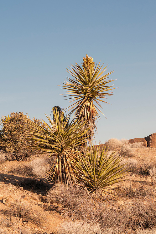 Early morning photograph of a native Mojave yucca in its natural habitat on a cool spring morning in Mojave Desert in Southern California. These are often found growing among the Mojave's iconic Joshua trees - another member of the same genus.