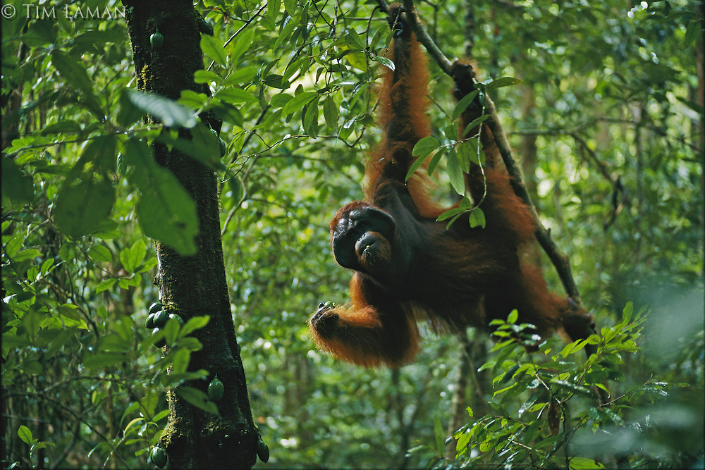 Adult male orangutan named Jari Manis feeds on fruit of Diospyros tree in lowland rain forest.  Gunung Palung N.P., Borneo, Indonesia...IUCN Red List: Endangered Species