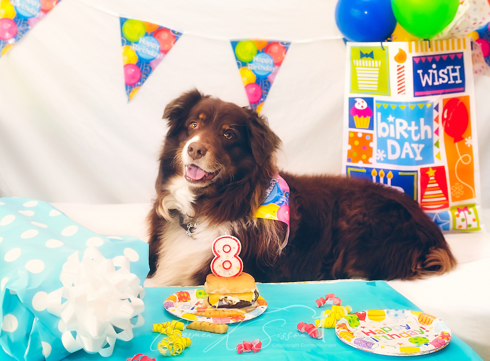 """Cowboy, an eight-year-old red tri Australian Shepherd, poses with his chesseburger """"cake"""" at his birthday party, April 4, 2016, in Coden, Alabama. (Photo by Carmen K. Sisson/Cloudybright)"""