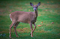 Deer in my backyard before Hurricane Sandy. Image taken with a Nikon D4 and 500 mm f/4 VR lens (ISO 800, 500 mm, f/4, 1/500 sec).