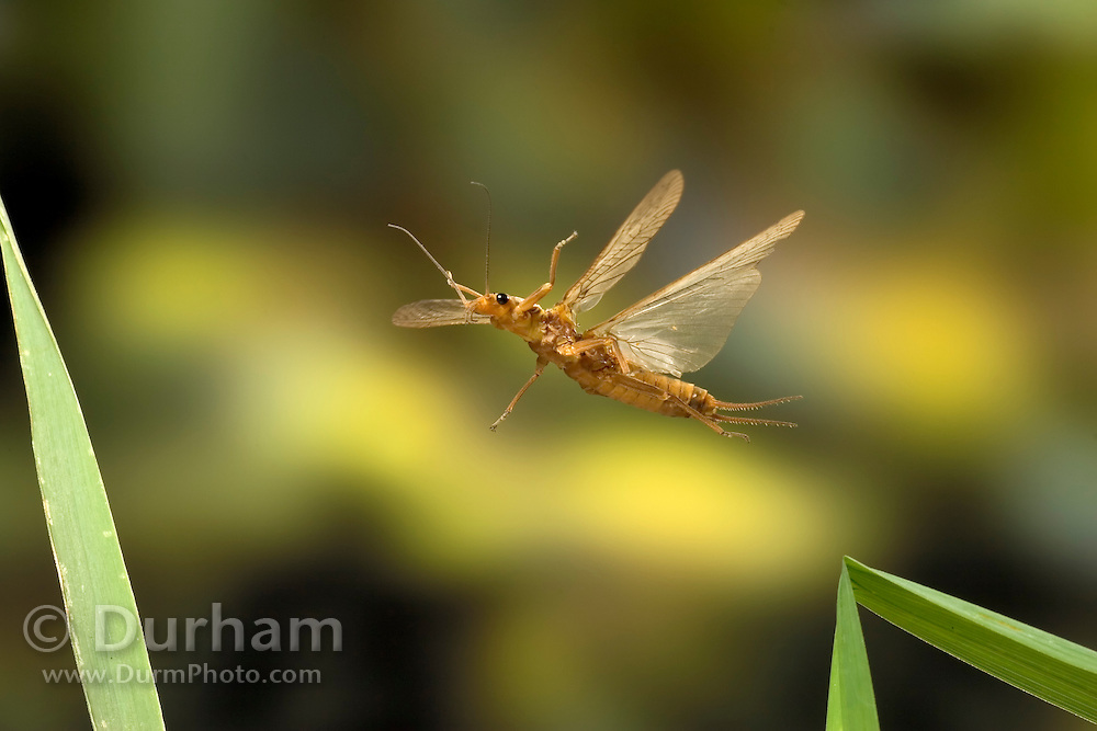 A golden stonefly (Hesperoperla pacifica) in flight near the bank of the Metolius River. Deschutes National Forest, Oregon.