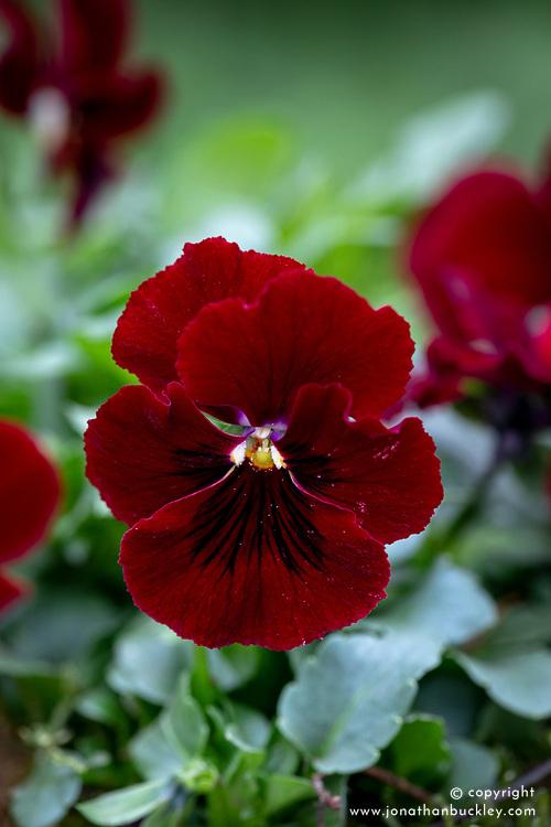 Viola 'Penny Red Blotch'