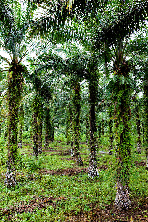 This palm plantation belongs to both the Hatam community and to the PTP Nusantara II company, in the Prafi region, near Manokwari, Papua, Indonesia, Sept. 12, 2008..Daniel Beltra/Greenpeace