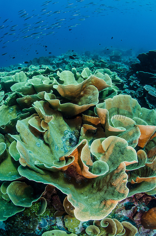 Stony Plate Coral (Agaricia)<br /> Cenderawasih Bay<br /> West Papua<br /> Indonesia
