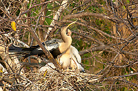 Anhinga Anhinga anhinga on nest with three chicks Wakodahatchee Wetlands Delray Beach Florida USA
