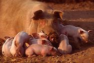 DEU, Deutschland: Hausschwein (Sus Scrofa f. domestica), Gruppe von Ferkeln liegen um den Kopf ihrer Mutter herum, Seedorf, Schleswig-Holstein | DEU, Germany: Domestic pig (Sus scrofa f. domestica), group of piglets laying around their mothers head, Seedorf, Schleswig-Holstein |