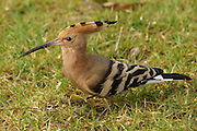 Israel, Hoopoe, (Upupa epops) Israel's national bird
