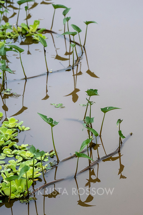 Vines and water lettuce float along the edges of Pahuachiro Creek off of the Maranon River in the Peruvian Amazon.