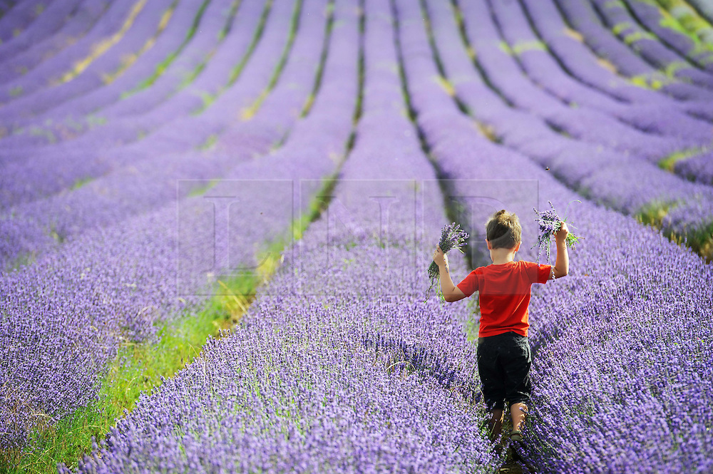 © Licensed to London News Pictures. 26/07/2013 Hitchin, UK. A young visitor picks lavendar at Hitchin Lavendar, Cadwell Farm, Hitchin, Hertfordshire. The Lavendar, now in full bloom, has been farmed at Cadwell for more than one hundred years and for five generation, farming over 12 acres of lavender or 17 miles of rows. In the past the small market town of Hitchin was one of only two major Lavender growing areas in the country. At its height in the nineteenth century a hundred acres were grown around the town and it soon became renowned nationally. Each lavender field could continually produce abundant crops for five years before being uprooted and burned, providing a fragrant and captivating aroma that blew across the whole town.<br /> Photo credit : Simon Jacobs/LNP