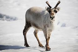 A male Svalbard reindeer (Rangifer tarandus platyrhynchus) standing on the snow ,Svalbard, Norway