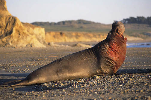 Northern Elephant Seal, (Mirounga angustirostris) Male bloody from battle for mating rights to females. California.