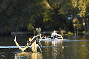 Henley on Thames,  Looking cross the River Thames, at Henley, opposite Henley Rowing Club,  on Mill Meadows,  Cormorants, with the Sun on their back watch the crews moving down river for an early morning training session on Henley reach.  07/10/2006.  Photo, Peter Spurrier/Intersport-images].