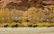 Horses belonging to Navajo Indians running in bottom of Canyon de Chelly National Monument, Arizona, USA. Cottonwood trees at base of cliff.