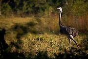 Aquidauana_MS, Brasil...Ema na fazenda Rio Negro no Pantanal...A emu in Rio Negro farm in the Pantanal...Foto: JOAO MARCOS ROSA / NITRO