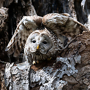 Japanese sub-species of Ural owl (Strix uralensis japonica) raising its wings above for a good stretch. These owls are known as Ezo Fukurou in Japanese.