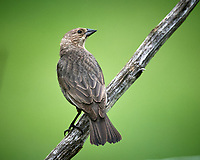 Female Brown-headed Cowbird. Image taken with a Nikon D5 camera and 600 mm f/4 VR telephoto lens (ISO 1100, 600 mm, f/5.6, 1/1250 sec).